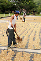Men raking coffee beans drying in the sun near Matagalpa, Nicaragua