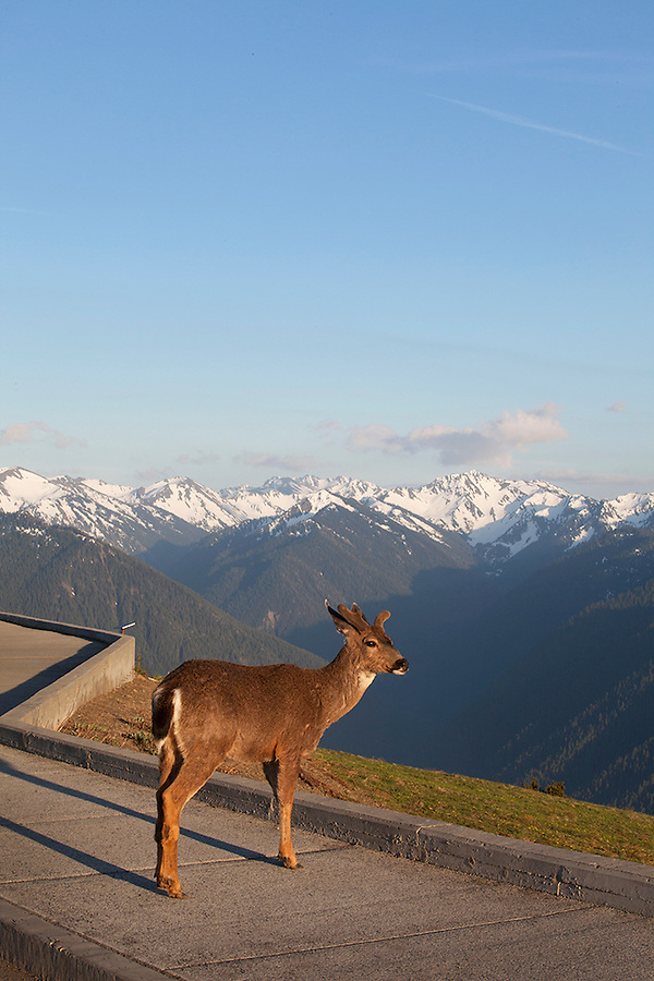 Deer in Olympic National Park, Washington State, WA, USA