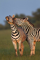 Zebra interaction