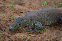 Monitor Lizard,Yala National Park, Sri Lanka
