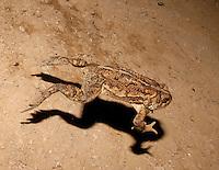 American Toad, Anaryxus americanus; female hopping; PA, Philadelphia