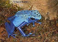 0929-07ww  Dendrobates azureus - Blue Poison Arrow Frog ñ Blue Dart Frog  © David Kuhn/Dwight Kuhn Photography