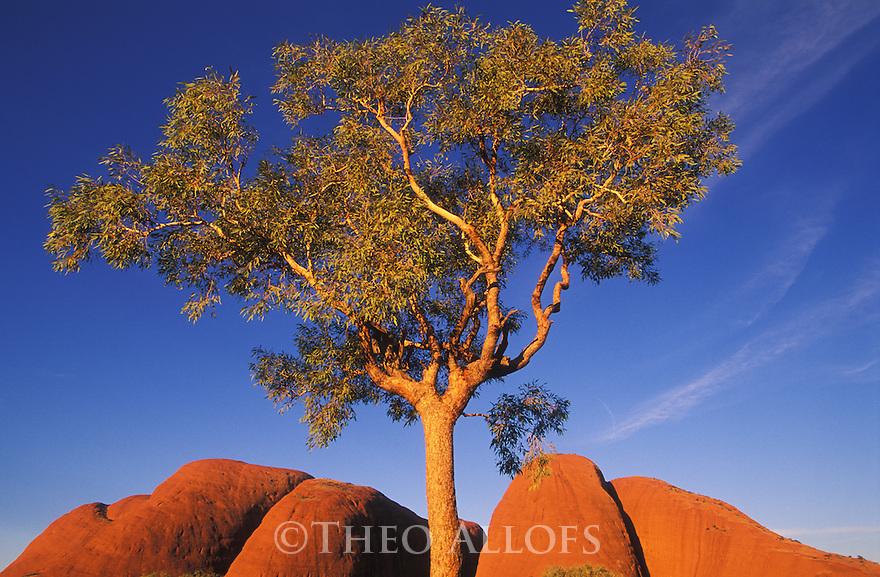 Eucalyptus tree and Kata Tjuta; Australia, Uluru - Kata Tjuta National Park, World Heritage Site
