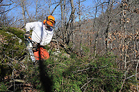 NWA Democrat-Gazette/FLIP PUTTHOFF <br /> Mark Clippinger, superintendent, cuts cedar trees Feb. 15 2017 during glade restoration work at Hobbs State Park-Conservation Area. Removing cedars reopens the glade and allows native grasses and wildflowers to flourish.