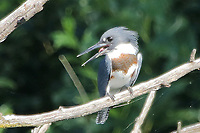 Courtesy photo/PHYLLIS KANE<br /> PERCH FOR A KING<br /> A belted kingfisher rests on a branch Aug. 20 at Swepco Lake west of Gentry.