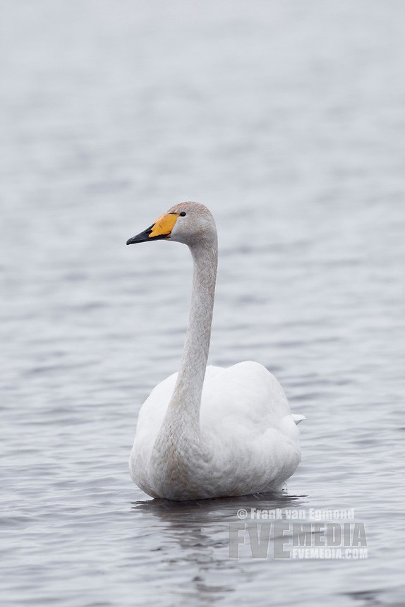 Whooper swan portrait