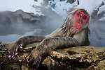 Japanese Macaque, Macaca, fuscata, old female adult sitting in hot water spring, Jigokudani National Park, Nagano, Honshu, Asia, primates, old world monkeys, snow, macaques, behavior, onsen, red face, steam, sadness, hands, alone.Japan....