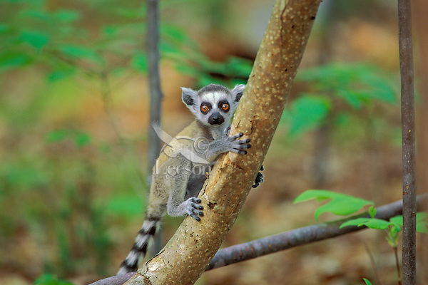 Young Ring-tailed Lemur (Lemur catta)