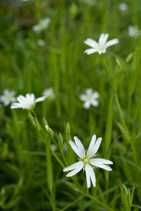 Greater Stitchwort [Stellaria holostea]