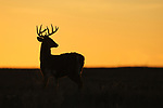 White-tailed Deer Buck at Sunrise