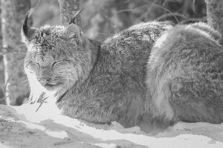 Canada Lynx laying in warm spring sun napping in the Boreal Forest, Riding Mountain National Park, Manitoba, Canada.