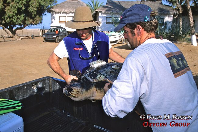 J. & Hoyt Putting Loggerhead In Truck