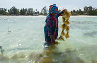 TANZANIA, Zanzibar, Paje, women plant seaweed near the beach, the red algae is used to extract carageenan as thickener for cosmetics and Food additive E 407 / TANSANIA, Sansibar, Paje, Frauen pflanzen Rotalgen am Strand, aus den essbaren Algen wird Carrageen als Emulgator und Verdickungsmittel E407 fuer Kosmetik und die Nahrungsmittelindustrie gewonnen, z.B. Eis, Cola, Syrup, Saft usw., Frau Mwanaisha Makame