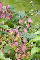 Lunaria annua (Honesty Plant)