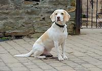 Lemon and White Beagle sitting, Sheffield, Yorkshire.