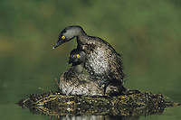 Least Grebe (Tachybaptus dominicus), pair mating on nest, Starr County, Rio Grande Valley, Texas, USA