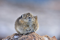 American pika (Ochotona princeps).  Beartooth Mountains, Wyoming/Montana border.  Sept.  This photo was taken in alpine setting at around 11,000 feet (3350 meters) elevation. Pika is keeping a foot warm.