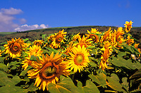 Sunflowers by the side of the road, Kauai