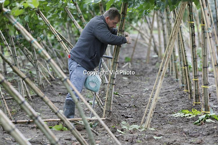 Foto: VidiPhoto<br /> <br /> OPHEUSDEN &ndash; Boomkweker Otto van Setten uit Opheusden herstelt donderdag de door de storm van woensdag omgewaaide jonge platanen. Omdat de bomen nog volop in het blad staat en nog niet diep wortelen, waren ze een makkelijke prooi voor de eerste najaarsstorm. Een deel van de stammen is gebroken en moet als verloren worden beschouwd.