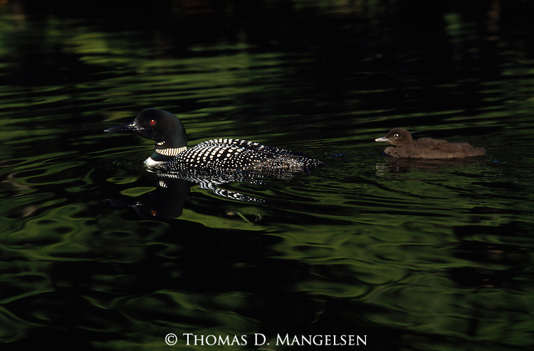 Two loons create ripples as they swim across Grand Lake Sebois in Maine.