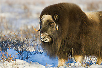 Bull muskox on the snowy tundra of Alaska's Arctic Coastal Plain.