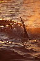 Killer whale Orcinus Orca surfacing and spouting at dusk