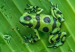 A Green and Black Poison Arrow Frog sits on a leaf, Panama.