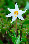 Avalanche Lily, Olympic National Park