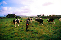 Farmer with his cows, Dingle Peninsula, County Kerry, Ireland