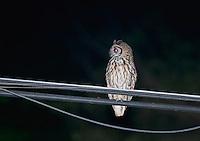 Tropical screech owl, Otus choliba, on a utility wire near Jacó, Costa Rica