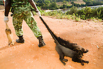 White-nosed Guenon (Cercopithecus nictitans), Gray-cheeked Mangabey (Lophocebus albigena), and African Brush-tailed Porcupine (Atherurus africanus), seized during roadblock check for illegal bushmeat, being dragged by National Park guard to be destroyed, Lope National Park, Gabon