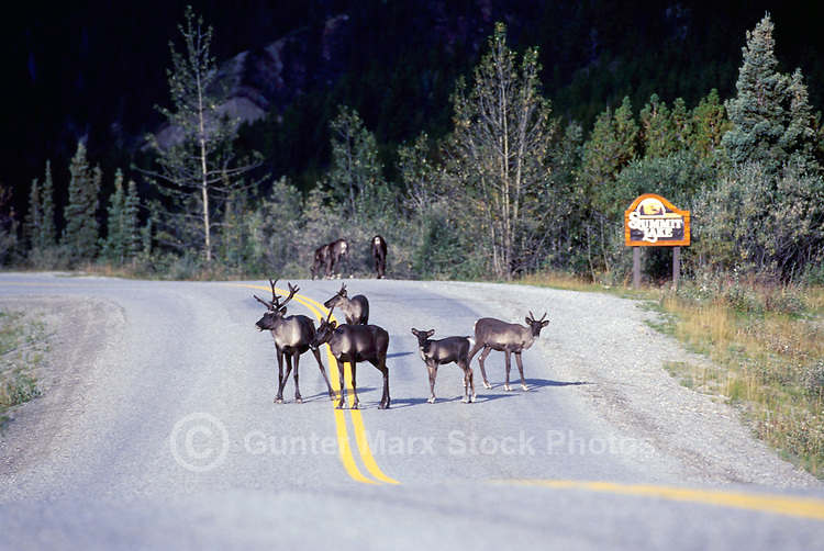 Woodland Caribou (Rangifer tarandus) crossing Alaska Highway near Summit Lake, Northern BC, British Columbia, Canada
