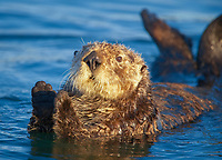 Enhydra lutris nereis, A sea otter resting, holding its paws out of the water to keep them warm and conserve body heat as it floats in cold ocean water,, Elkhorn Slough National Estuarine Research Reserve, Moss Landing, California, USA