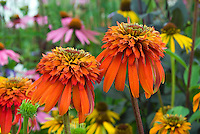 Echinacea 'Hot Papaya' double flower orange coneflower