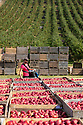 07/10/19<br /> <br /> ***Video also available*** <br /> <br /> Quality expert checking vibrant British apple crop at an orchard in Kent.<br /> <br /> Skilled workers are hand-picking British apples at an orchard in Kent, signalling the start of this year's season. Warm days and cold nights in late August and early September have produced an extremely vibrant crop.  <br /> <br /> All Rights Reserved, F Stop Press Ltd +44 (0)7765 242650 www.fstoppress.com rod@fstoppress.com
