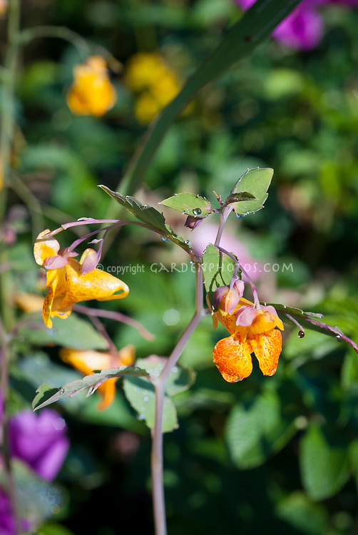 Impatiens capensis Orange Jewelweed macro of bloom and bud, Touch me nots