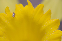 Tiny spider weaving a web across the face of a daffodil