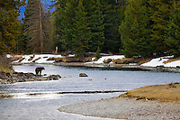 Grizzly Bear 610 in landscape, Snake River, Grand Teton National Park