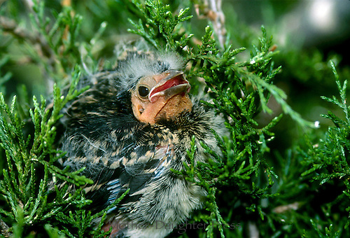Redwing blackbird fledgling sitting in evergreen bough in spring