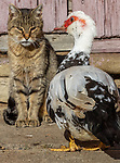 Romania, Transylvania, cat & duck