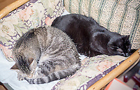 Oni, left, and Boogie Woogie asleep on the chair on Tuesday, June 16, 2015. (© Richard B. Levine)