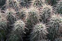 CLARET CUP  &amp; HEDGEHOG CACTUS<br /> Hedgehog Cactus<br /> Echinocereus triglochidatus Canyonlands National Park