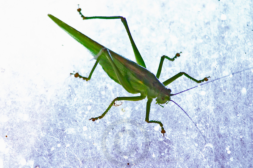 Large green grasshopper backlit on a window. Smaland region. Sweden, Europe.