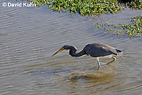 0127-08uu  Tricolored Heron Hunting for Prey with Small Fish in Beak, Louisiana Heron, Egretta tricolor  © David Kuhn/Dwight Kuhn Photography