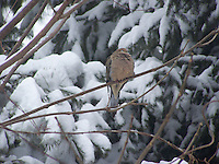 Mourning Dove in winter