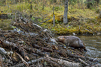 North American Beaver (Castor canadensis) climbing up and over dam it has made.  British Columbia, Canada.  Fall.