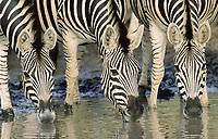Plains zebra or Burchell's Zebra (Equus quagga), drinking, Kruger National Park, South Africa, Africa