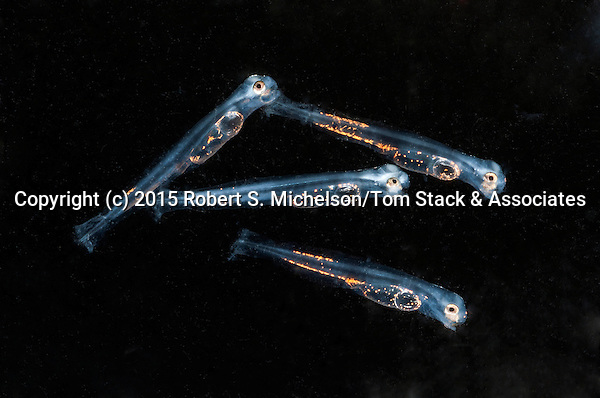 2 day old Striped Bass Larvae 4 shot swimming right. 3:1 macro photograph. Each juvenile is about 3mm in length.