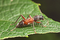 A Grape Trunk Borer (Clytoleptus albofasciatus) beetle perches on a leaf.