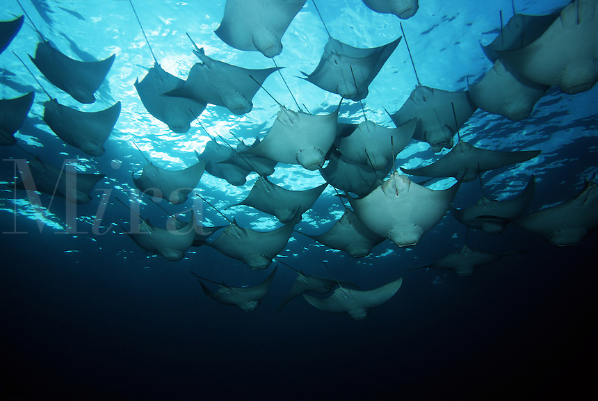 This is but a small portion of a huge school of cownose rays, Rhinoptera steindachneri, that circled this dive site several times. Galapagos Islands<br />